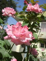 Kabul_office_rose
