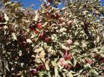 090326_apple_farms_1_3