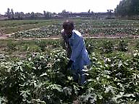 110519_1_mr_mazullah_picking_his__2