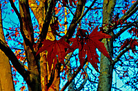 121129_dry_leaves_of_maple_2