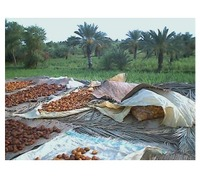 110811_dates_drying_process_dera_is
