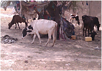 Livestock_in_search_of_feed_2