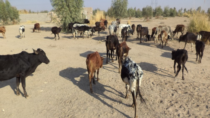 150423_large_number_of_livestock_in