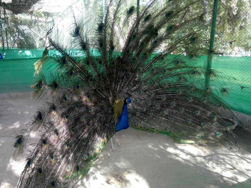 150618_different_peacocks_2