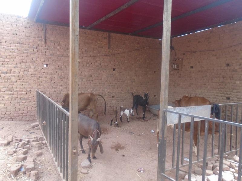 20170629_pk_livestock_in_shelter3