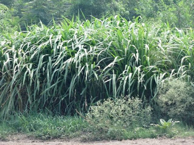 20170713_pk_growing_mott_grass1