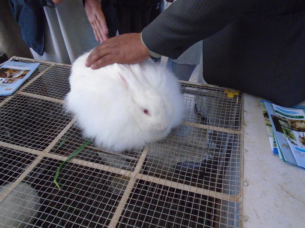 ジェン パキスタン: アンゴラウサギ